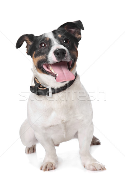 Jack russel Terrier Stock photo © eriklam