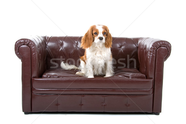 Cavalier King Charles Spaniel(Cav, Cavalier, Cavie) Stock photo © eriklam