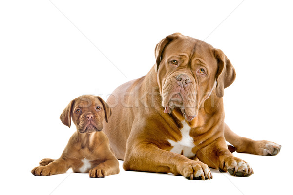 ボルドー 成人 子犬 白 家族 犬 ストックフォト © eriklam