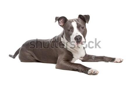 Staffordshire terrier kutyakölyök kutya fehér díszállat erős Stock fotó © eriklam