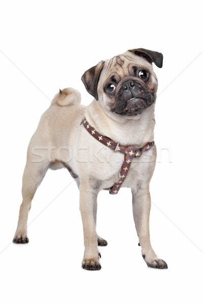 Pug dog Stock photo © eriklam