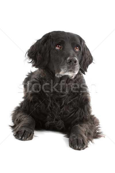 mixed breed dog (half setter) Stock photo © eriklam