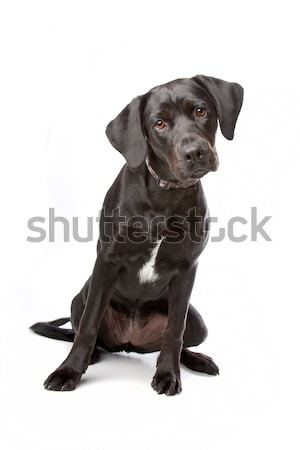 mixed breed lab cross Stock photo © eriklam