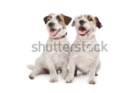 soft coated wheaten terrier and a Shih Tzu soft coated wheaten terrier Stock photo © eriklam