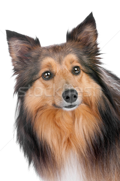 portrait of a sheltie dog Stock photo © eriklam