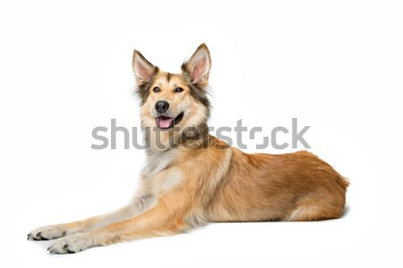 mixed breed shepherd dog Stock photo © eriklam