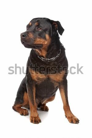 Rottweiler blanche chien studio mammifère Photo stock © eriklam