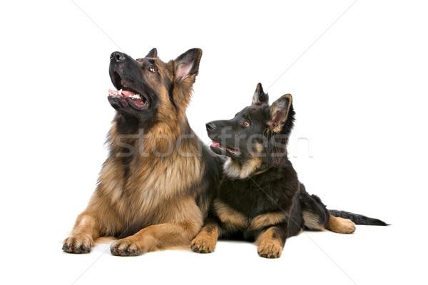 Сток-фото: пастух · собака · щенков · мнение · полу