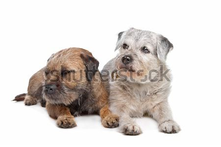Old and Young border terrier dogs Stock photo © eriklam