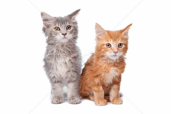 Maine Coon kittens Stock photo © eriklam