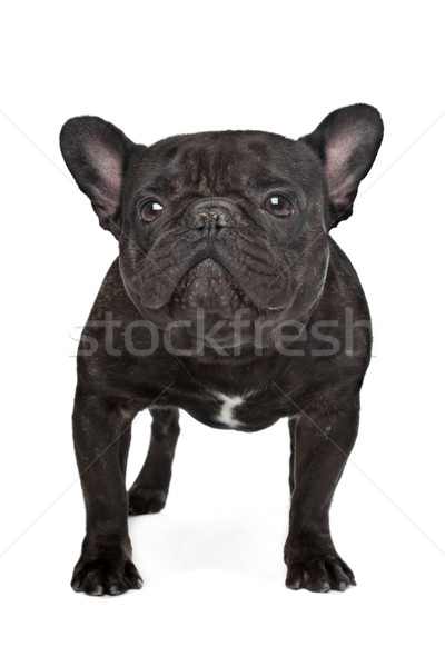 Dark brown French bulldog Stock photo © eriklam