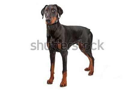 ドーベルマン犬 孤立した 白 ストックフォト © eriklam