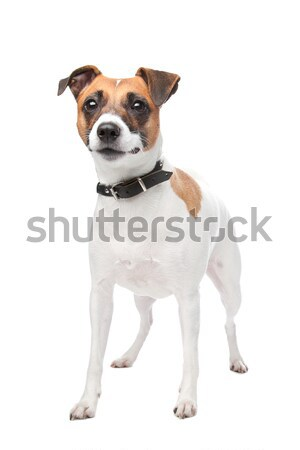 Jack russell terrier ans blanche animal coup isolé Photo stock © eriklam