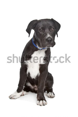 Cane Corso puppy Stock photo © eriklam