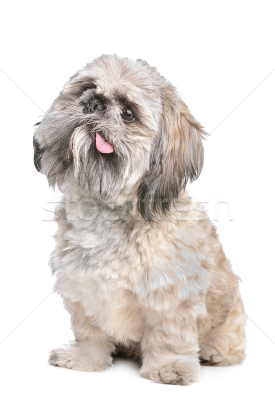 Gemengd ras hond achtergrond dier zoogdier Stockfoto © eriklam