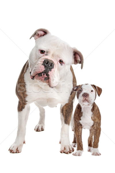 American Bulldog Adult and puppy Stock photo © eriklam