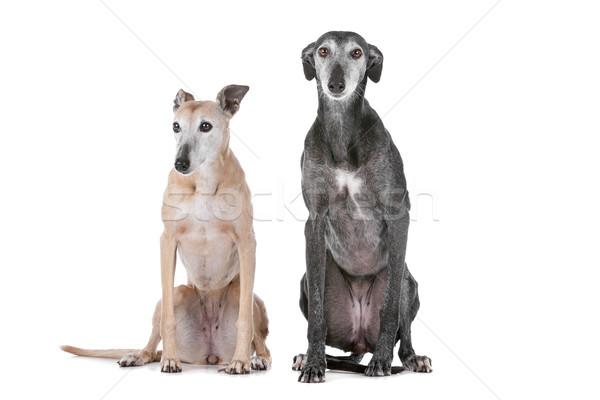 Iki tazı köpekler beyaz stüdyo oturma Stok fotoğraf © eriklam