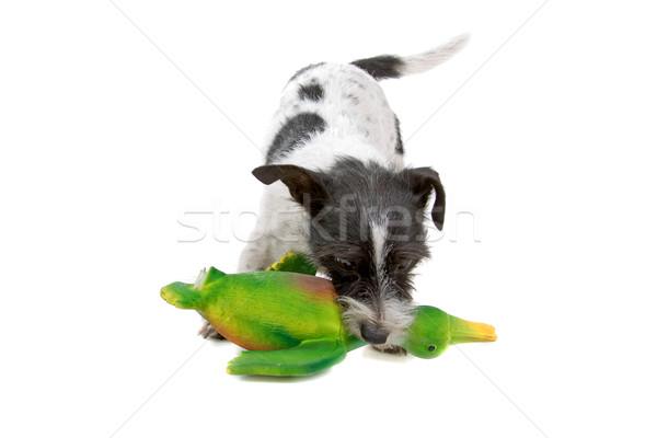 Jack russel terrier dog, duck toy Stock photo © eriklam