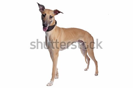 Greyhound, Whippet, Galgo dog Stock photo © eriklam