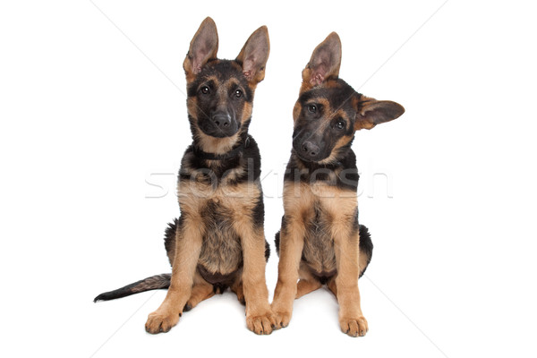 two German shepherd puppies Stock photo © eriklam