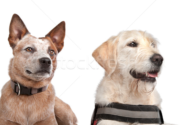 Labrador and Australian Cattle dog Stock photo © eriklam