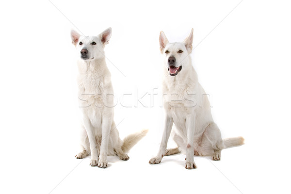Two swiss white shepherd dogs Stock photo © eriklam