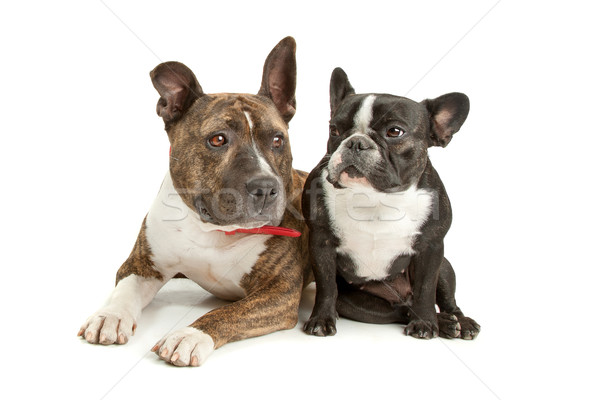 American Staffordshire Terrier and a French bulldog Stock photo © eriklam