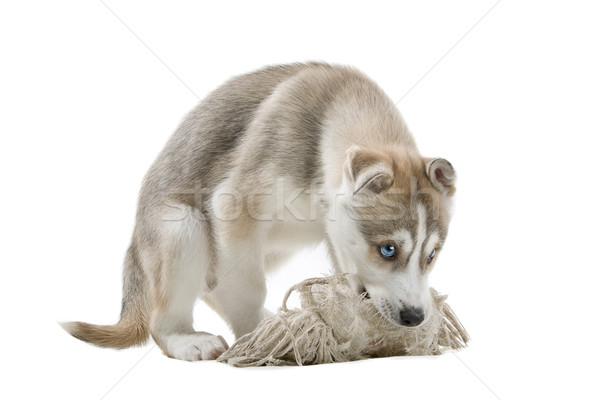Husky kutyakölyök fehér kutya játék vadászat Stock fotó © eriklam