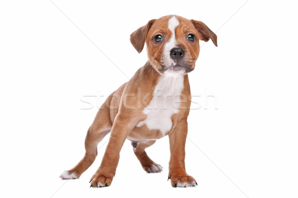 Staffordshire Bull Terrier puppy Stock photo © eriklam
