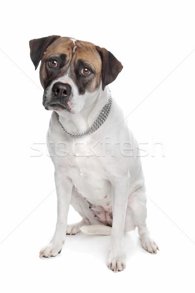 Amerikai bulldog fehér kutya állat emlős Stock fotó © eriklam