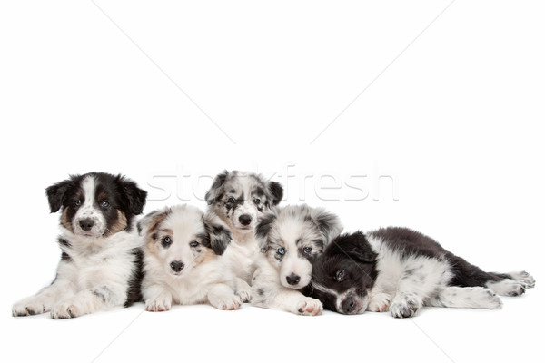 Foto stock: Grupo · cinco · border · collie · cachorros · blanco · animales