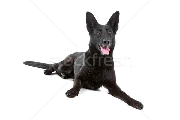 black german shepherd dog Stock photo © eriklam