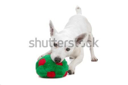Stock photo: white Jack Russel Terrier