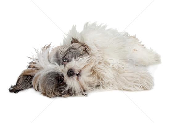 Cão branco isolado cachorro de brinquedo Foto stock © eriklam
