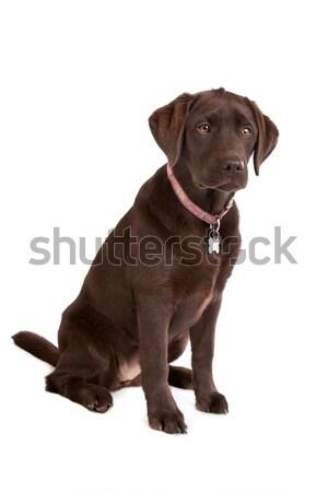 Csokoládé labrador kutya fehér állat díszállat Stock fotó © eriklam