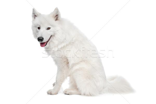 Samoyed dog Stock photo © eriklam
