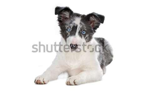 Blu border collie cucciolo bianco occhi giovani Foto d'archivio © eriklam