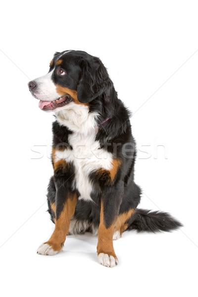 Berneński pies pasterski posiedzenia odizolowany biały tle Zdjęcia stock © eriklam