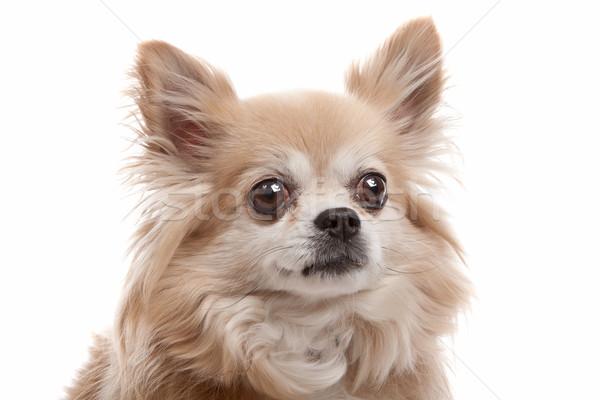 Uzun saçlı köpek beyaz kahverengi Stok fotoğraf © eriklam