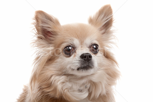 Hosszú hajú kutya fehér barna Stock fotó © eriklam