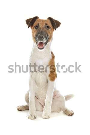 Smooth Fox Terrier Stock photo © eriklam