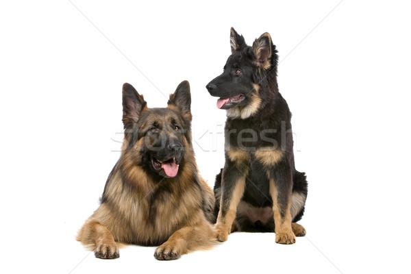 Сток-фото: пастух · собака · щенков · мнение · Cute