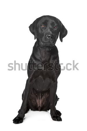 Zwarte labrador retriever witte hond achtergrond vergadering Stockfoto © eriklam