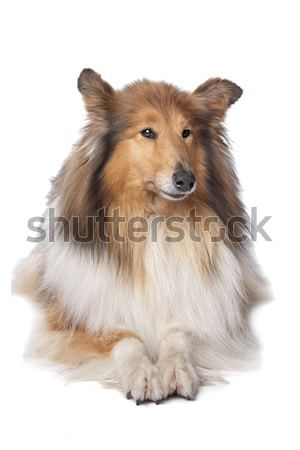 Rough Collie or Scottish Collie Stock photo © eriklam