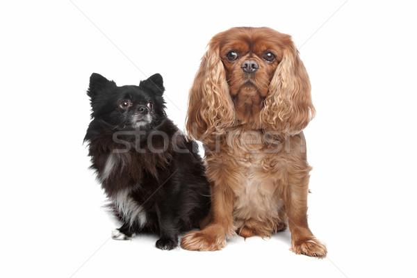 Cavalier King Charles Spaniel and a black chihuahua Stock photo © eriklam