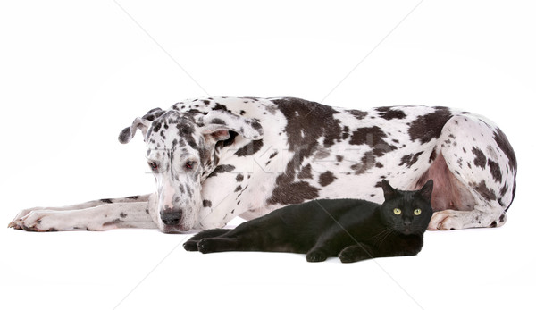 Great Dane and a black cat Stock photo © eriklam