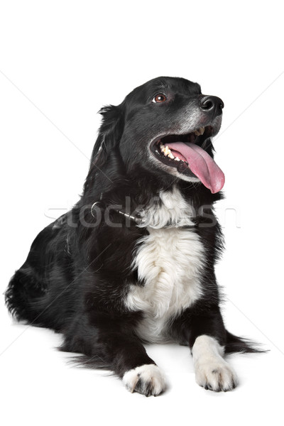 Border collie chien de berger blanche chien fond fond blanc Photo stock © eriklam