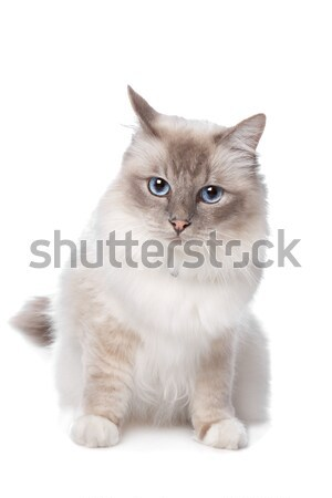 Sacred Birman Stock photo © eriklam
