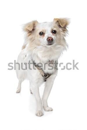 Hosszú hajú fehér kutya háttér fehér háttér emlős Stock fotó © eriklam