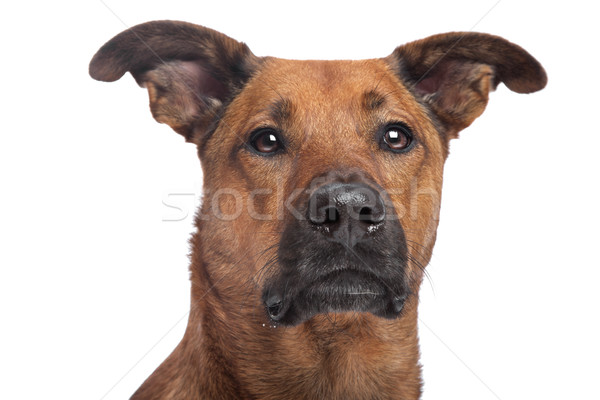混合した 犬 白 スタジオ ストックフォト © eriklam